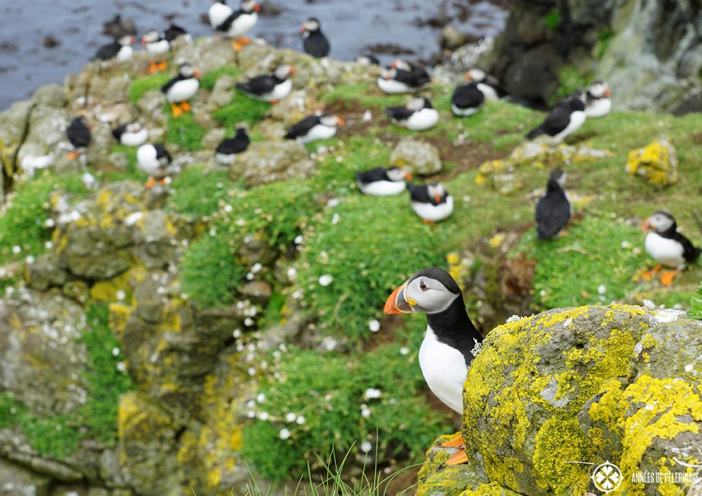 A colony of Puffins on saltee Island