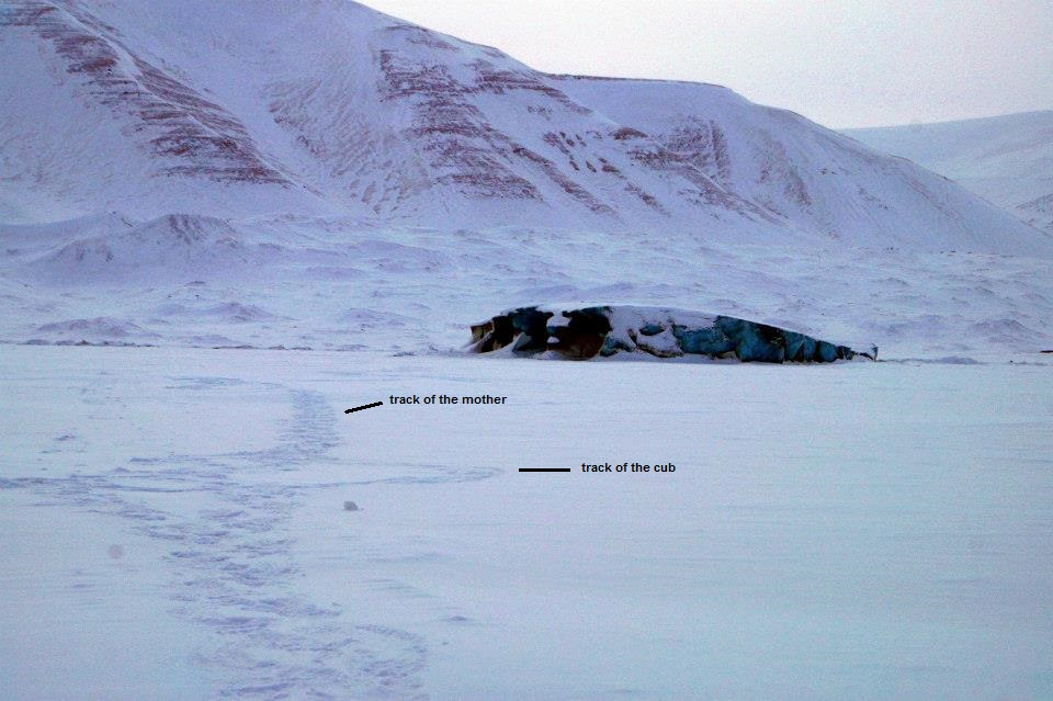 tracks of a polar bear mother with her single cub on the east cost of Spitsbergen