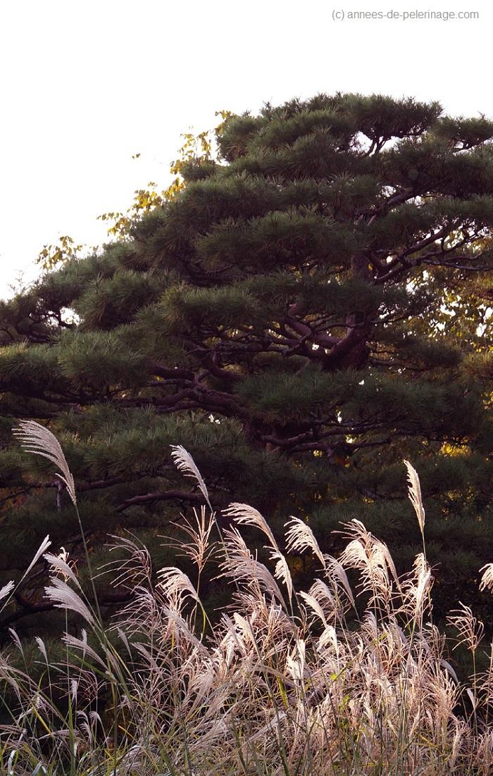 Pine tree in the botanical garden in Katsugu-Tasha Shrine in Nara