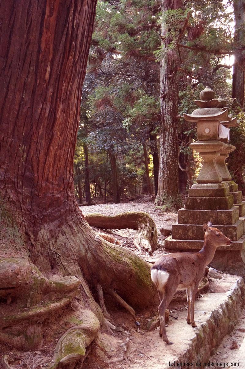deer and stone lantern on the path to kasuga-taisha in nara