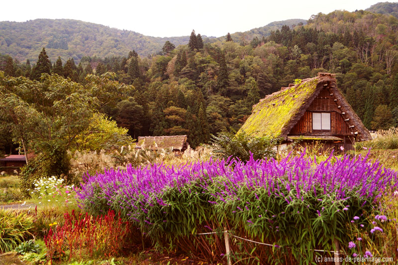 Gasshō-zukuri farmhouse and a blooming meadow shirakwa-go