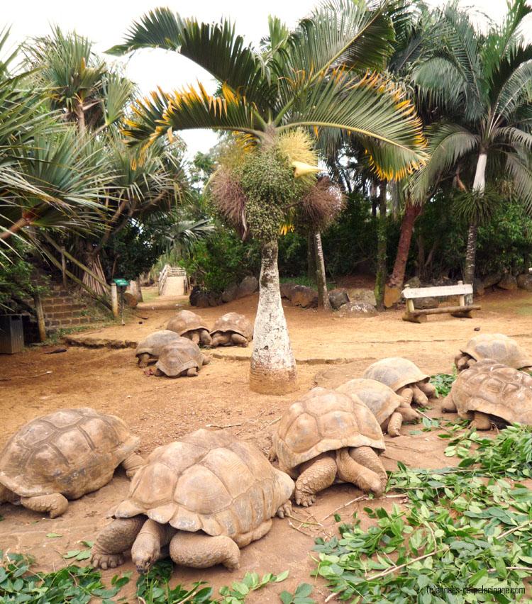 giant turtoise in vanille crocodile park in mauritius