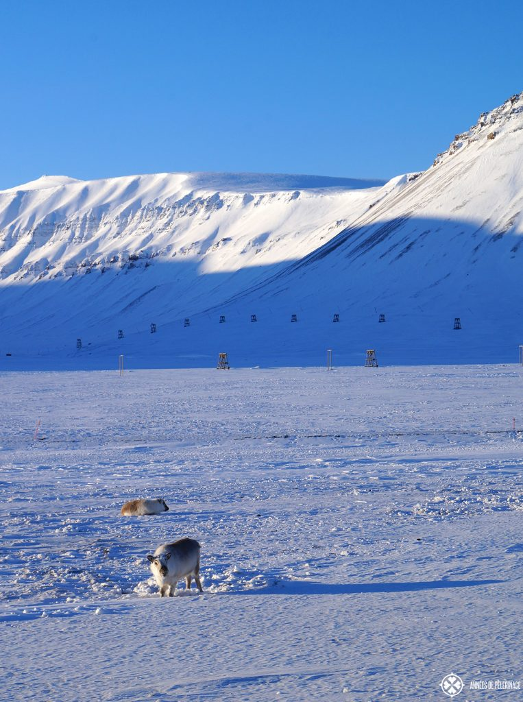 The endemic spitsbergen reindeer near Longyearbyen on the way to Isford Radio station