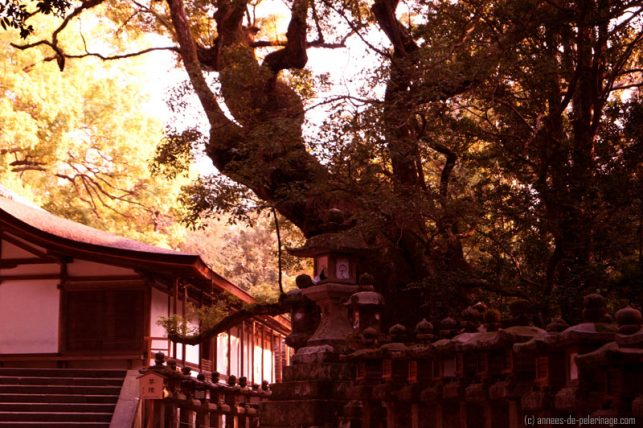 An annex building to kasgua-taisha with and old tree and stone lanterns - nara
