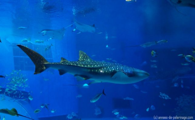 Fun Things to do in okinawa with kids: Watch a whale shark in the churaumi aquarium