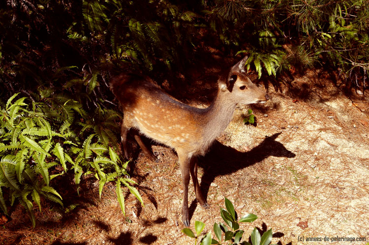 wild deer in miyajima