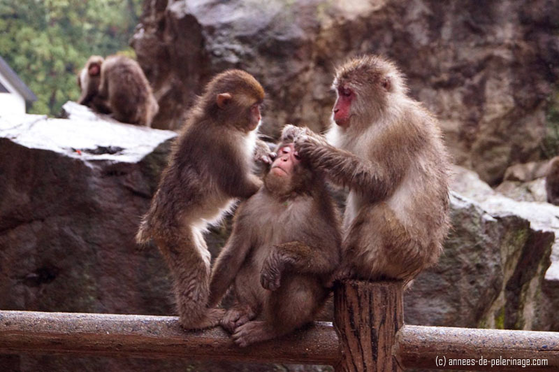 Snow Monkeys grooming themselves at a temple
