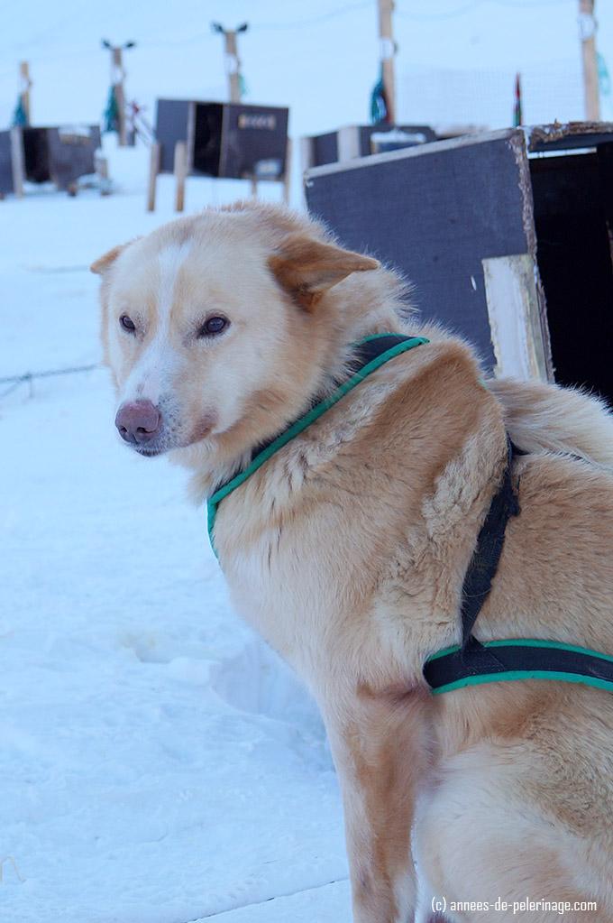 A beautiful husky dog sled close up