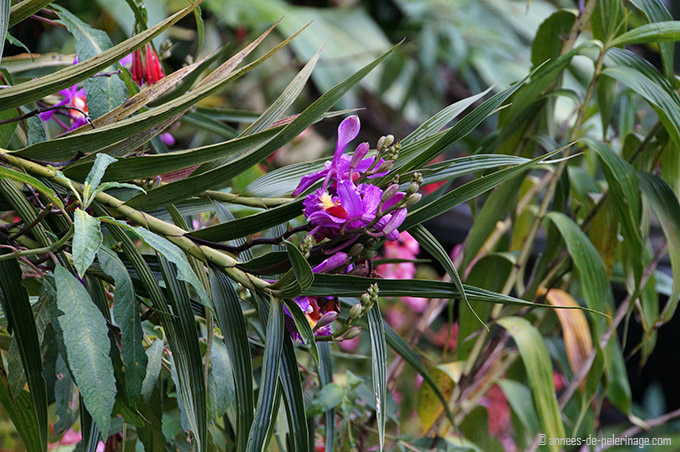 A purple orchid inside the orchidfarm of the belmond sanctuary lodge machu picchu