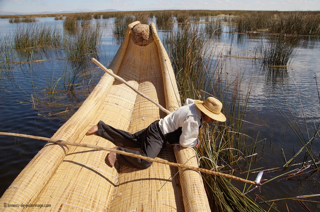 A man of the uros people cutting totora reed and gathering the cut reeds in bushles