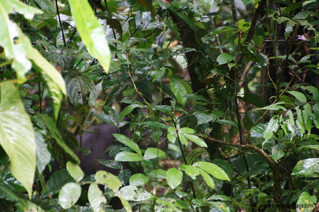 A lowland tapir seen through the dense foilage of the yasuni national park ecuador