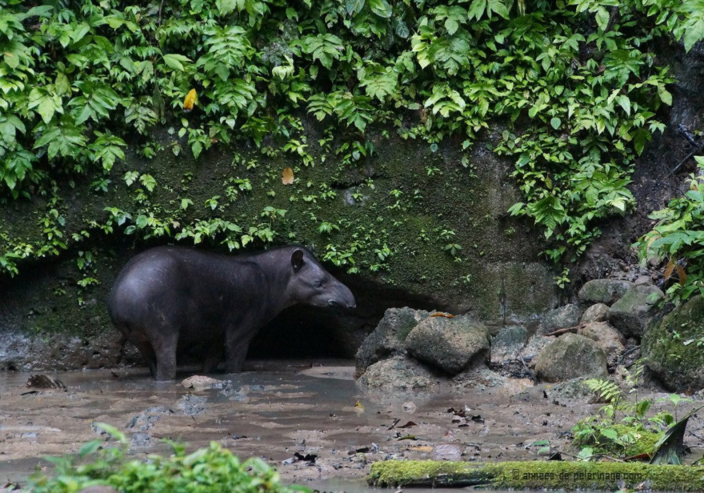 A lowland tapir (tapirus terrestris) ready to drink water from the clay lick at napo wildlife center in yasuni national park