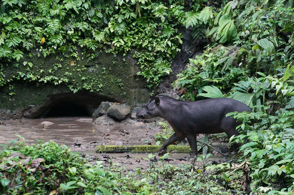 The lowland tapir (tapirus terrestris) entering the glade of the napo clay lick in yasuni national park