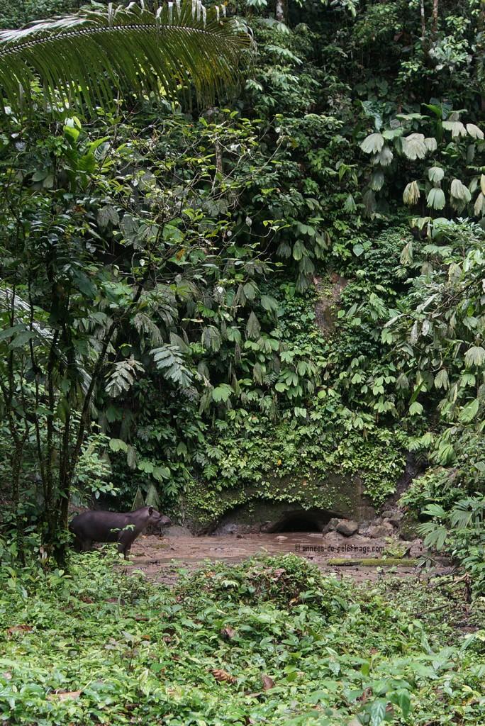 the lowland tapir (terrestris) entering the clay lick of napo wildlife center
