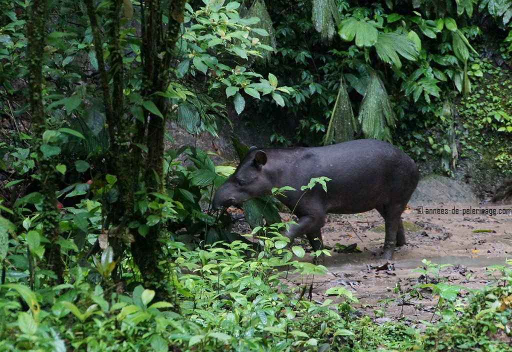 the lowland tapir leaving the clay lick in yasuni national park ecuador