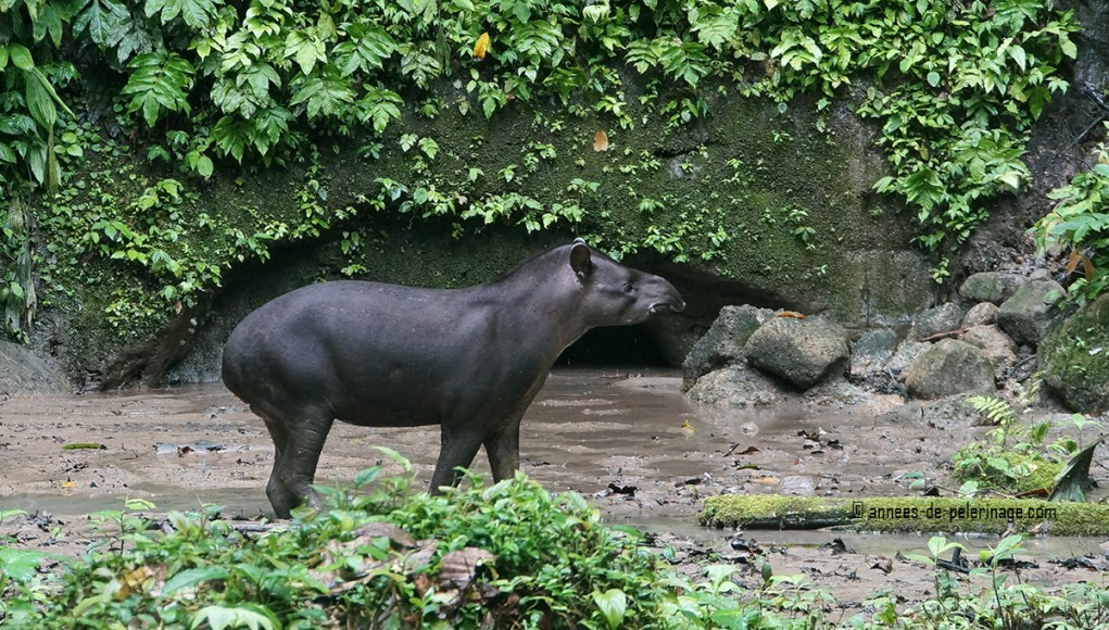 A shy tapir testing the air at the napo wildlife center in yasuni national park ecuador
