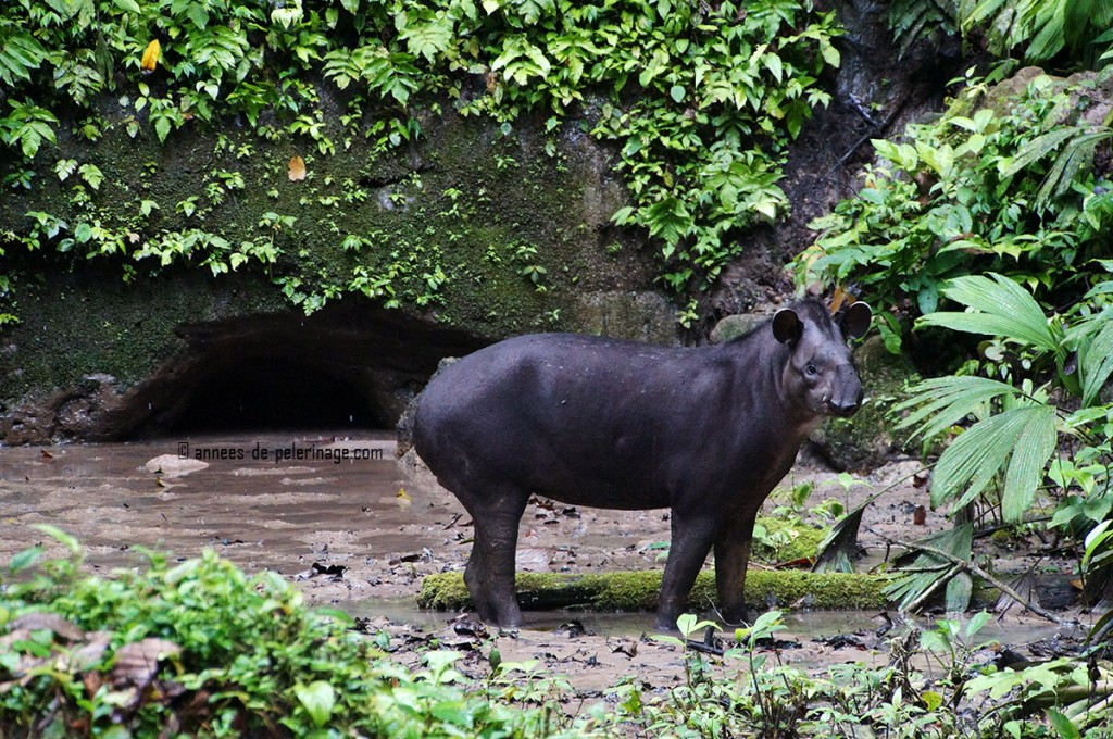 The tapir looking straight into my camera at the yasuni national park ecuador
