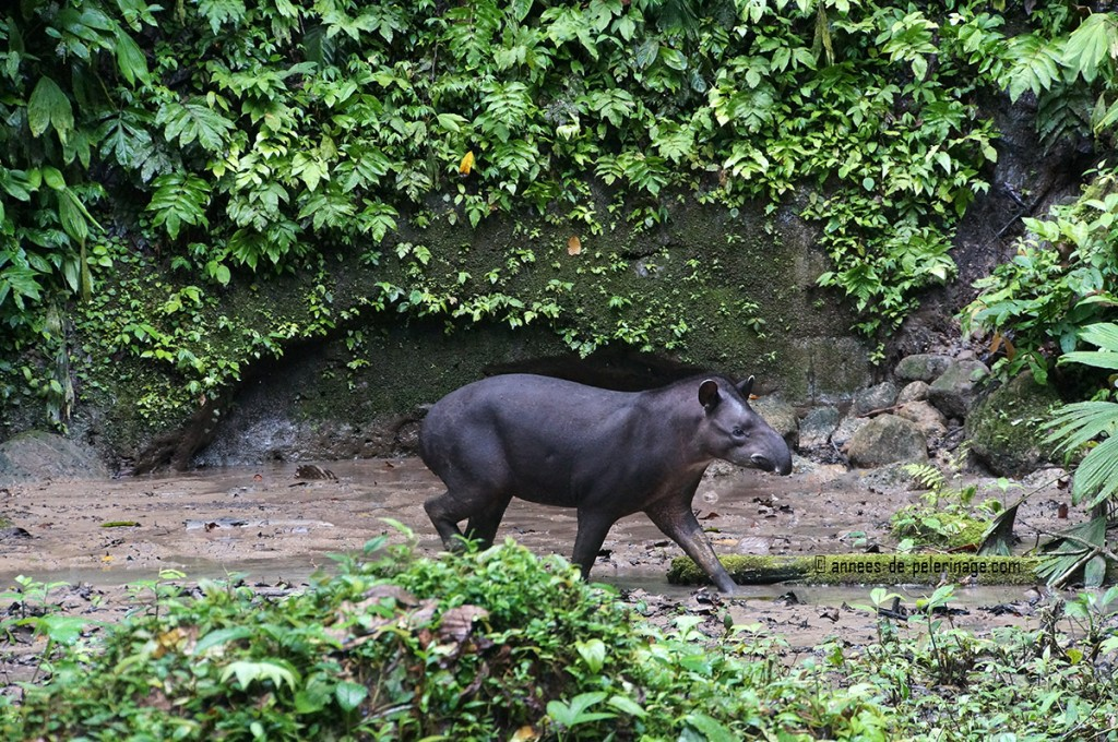 A wild lowland tapir at a clay lick in the yasuni national park