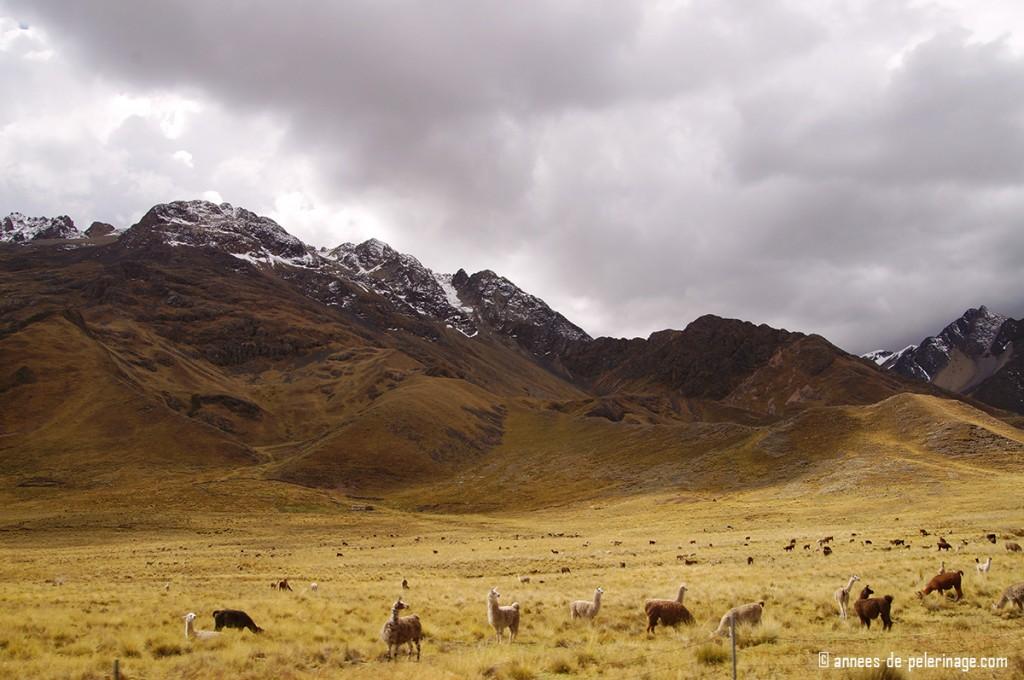 Alpaka and Lama grazing on the altiplano in peru
