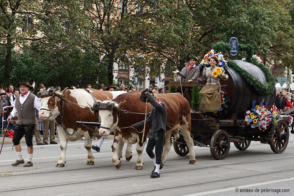A gigantic beer barrel draw by two mighty oxen for the oktoberfest parade