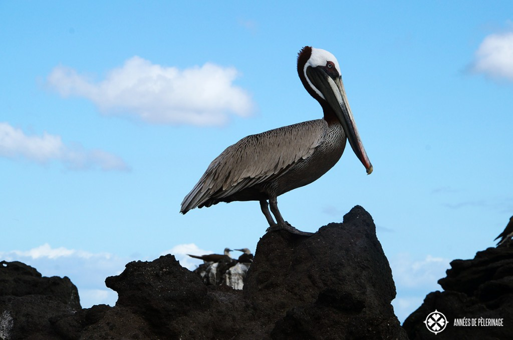 A brown pelican sitting on lava rock on the Galápagos Island of Isabela