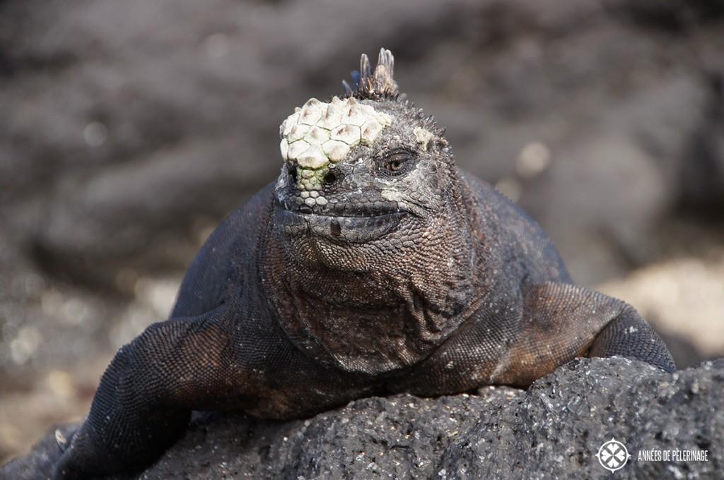 A male Galápagos marine iguana warming itself on a lava rock after feeding on the algae banks
