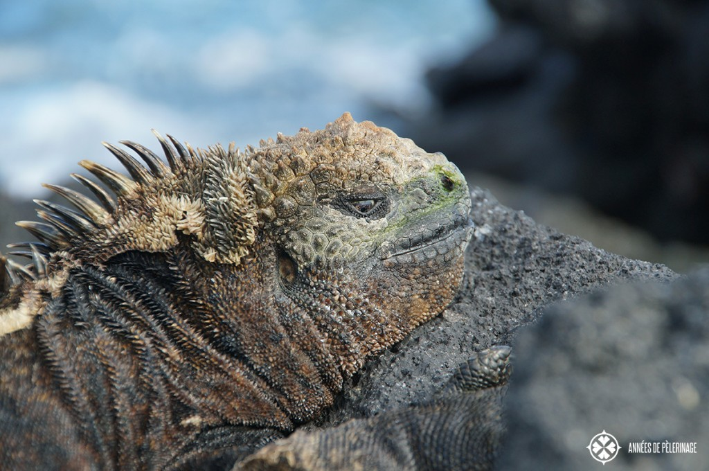 Close-up of a male Galápagos marine iguana. They frequently exhale salt, which is why the top of their head appears to be white