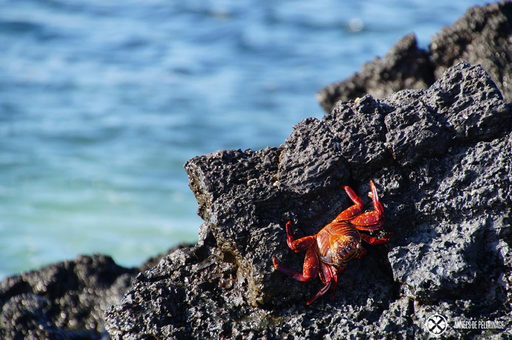 A sally lightfoot grab hugging to volcano rock on the Galápagos Islands in Ecuador