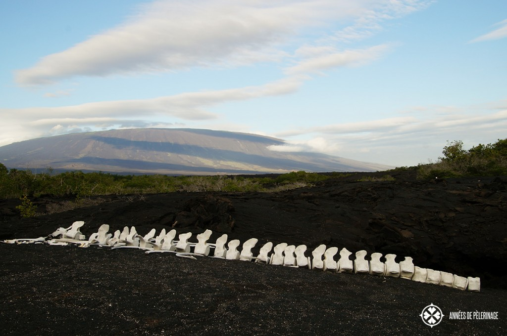 A whale skeleton on the Galápagos Islands in Ecuador, with a dormant volcano in the background