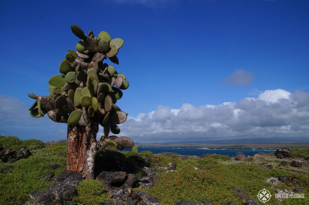 Cactus landscape on North Seymore in Galápagos