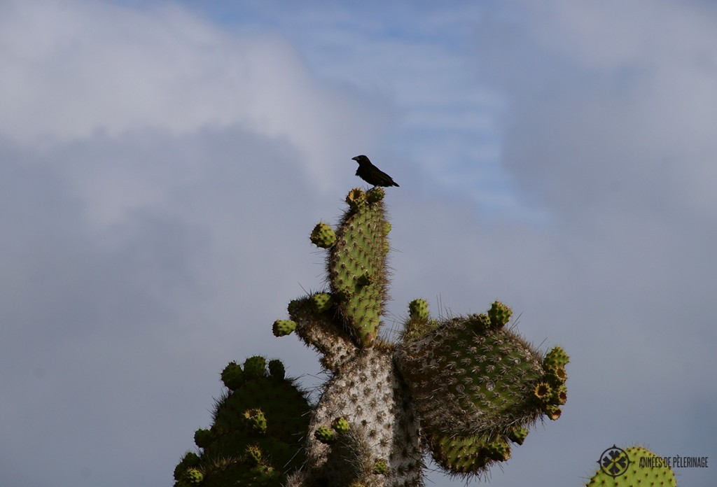 A black darwin finch perched upon a cactus tree