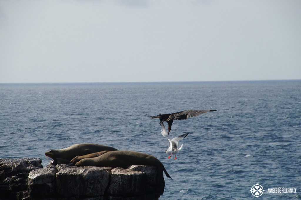 A great Frigatte bird attacking a galapagos gus with a couple of sea lions resting in the foreground