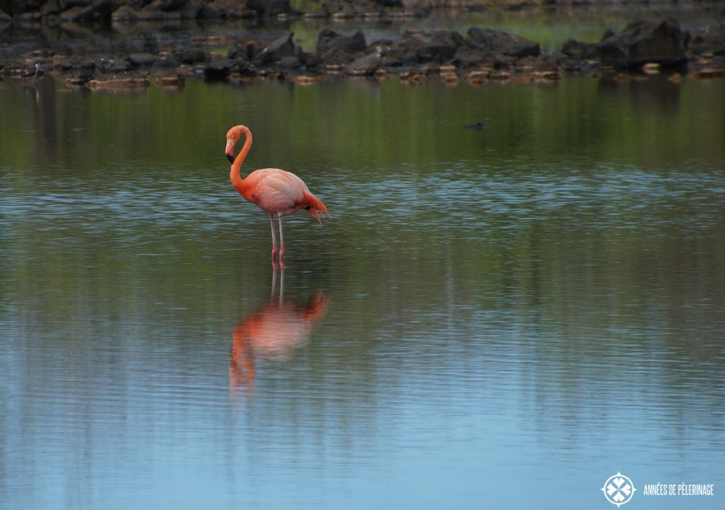 A galapagos flamingo standing among the surf