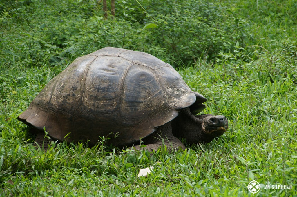 A giant Galapagos Tortoise eating grass. This is a particulary large male