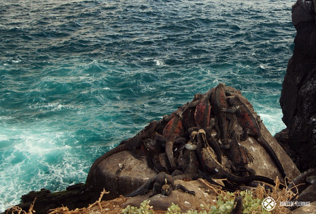 A pile of red colored marine iguanas on Espanola Islands in Galápagos