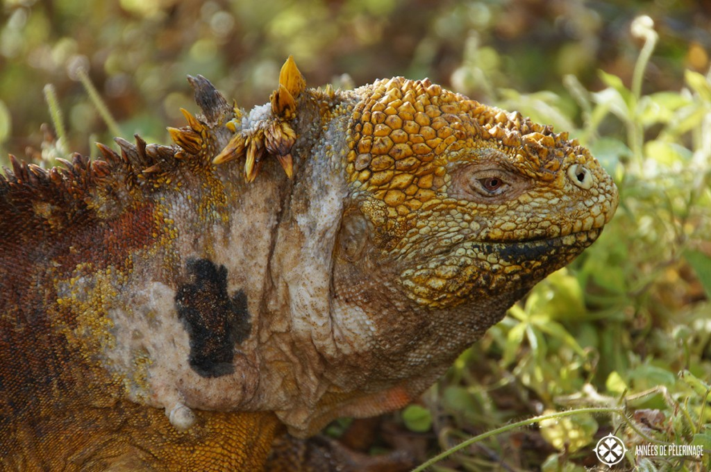 Portrait of a yellow Galápagos land iguana. This one is a male - you can tell because of the large spines