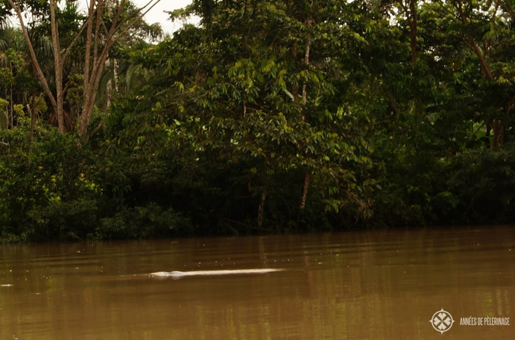 The endangered pink Amazon river dolphin inside its natural habitat in Ecuador