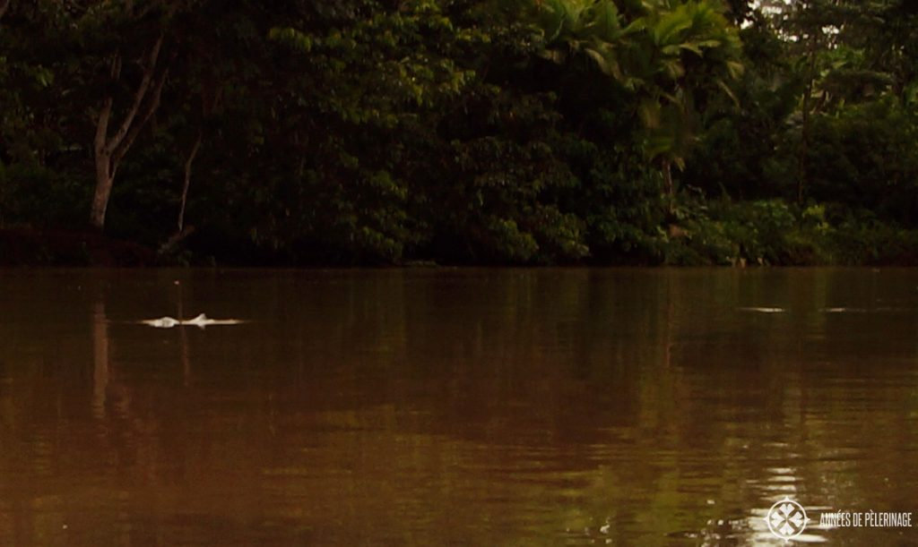 A pink amazon river dolphin in Ecuador