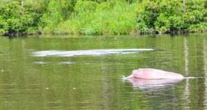 A pink river dolphin quickly surfacing to breath air - picture by Allen Sheffield