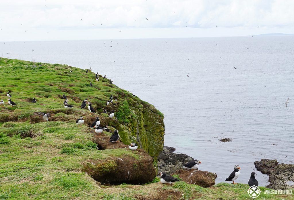 cliff dwelling puffins lunga island scotland