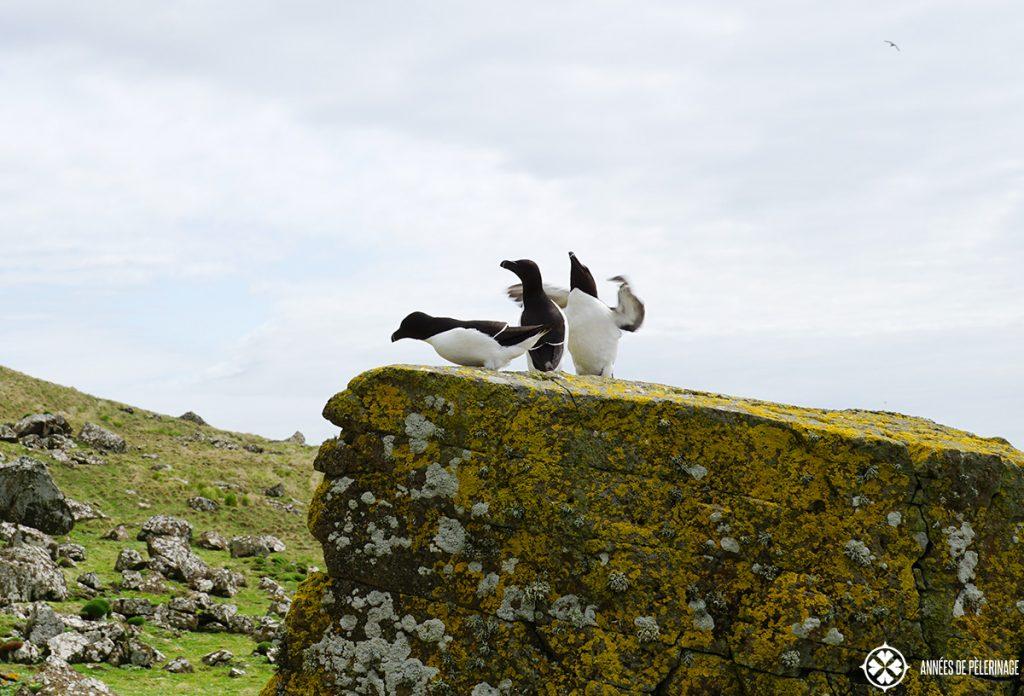 group of guillemots lunga island scotland