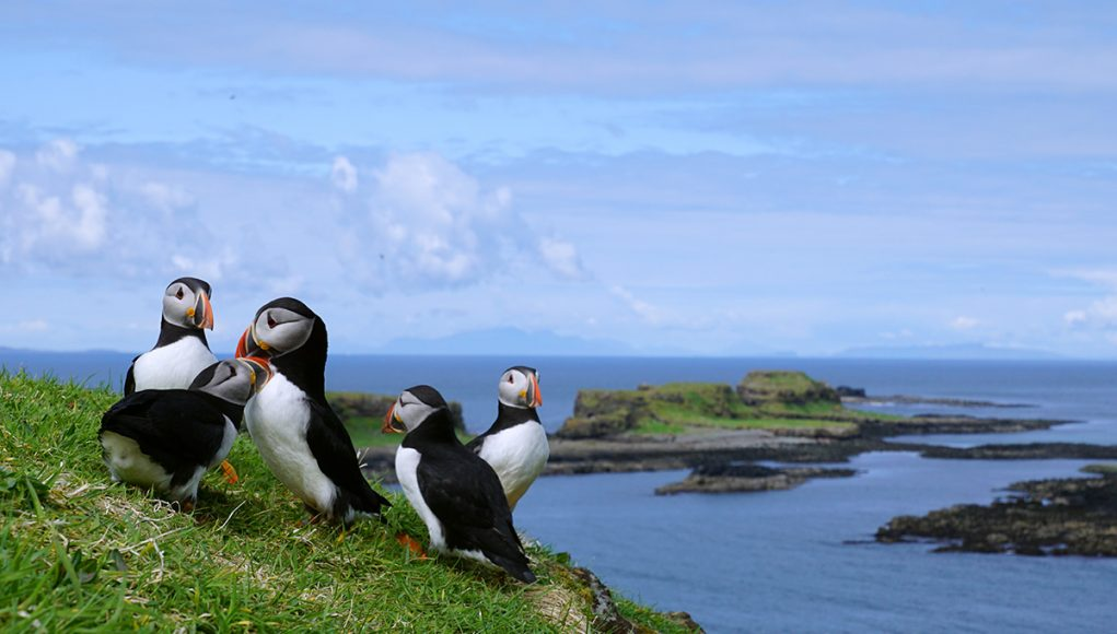 group of puffins lunga island in Scotland