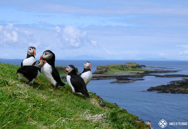 A group of puffins lunga island near the Isle of Syke