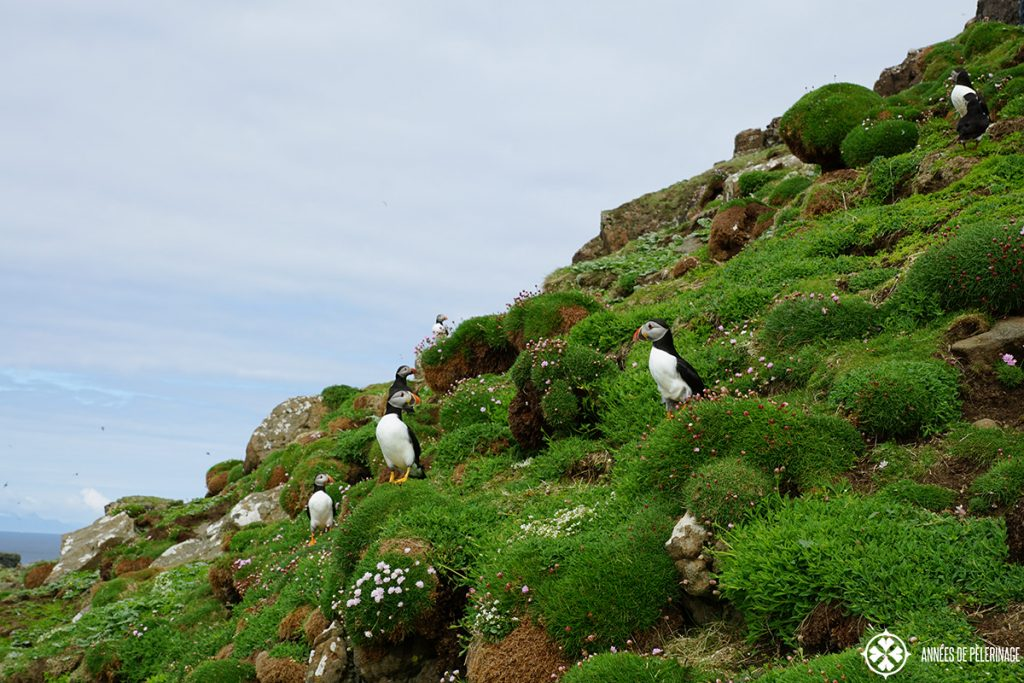 group of puffins lunga island scotland