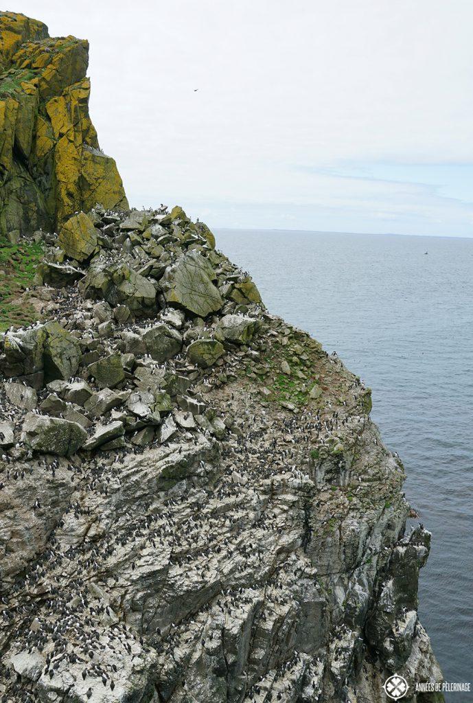 guillemot colony lunga island scotland