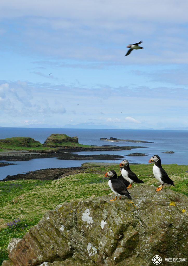 puffin rock Lunga island Scotland