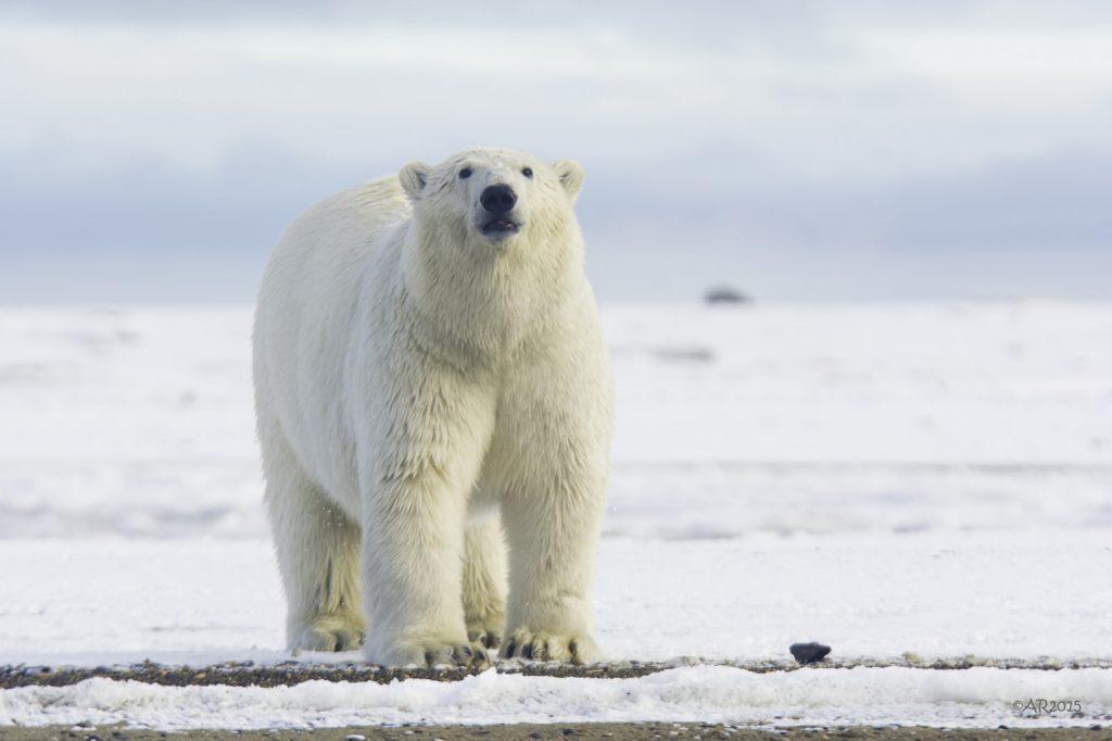 A male polar bear out on the ice