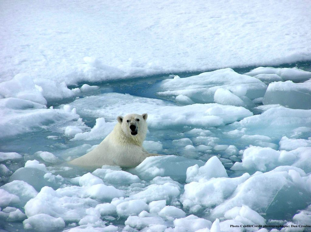 Seeing a polar bear tour: A male swimming through the pack ice