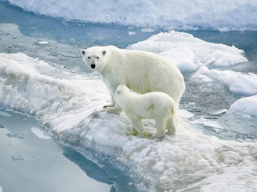 A female polar bear with a cub on an ice berg