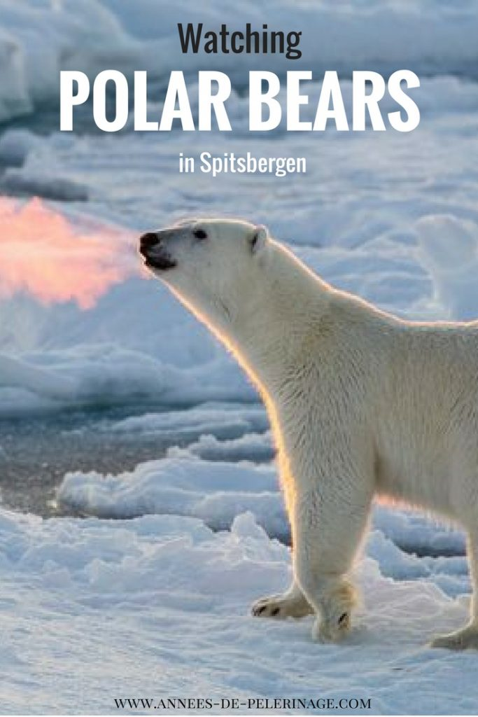 Polar bear watching in Spitsbergen, Svalbard. Everything you need to know to see the biggest carnivore on this planet.